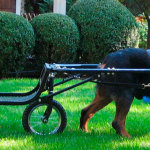 Seated Dog Cart
